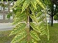 Ailanthus-altissima-aucubaefolia.jpg
