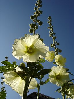 Alcea rosea and blue sky