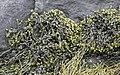 Alga Fucus vesiculosus 090510 37.jpg