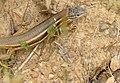 Algerian Sand Lizard (Psammodromus algirus) (14504321872).jpg