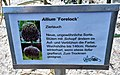 Allium Forelock.jpg