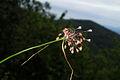 Allium carinatum ssp. carinatum PID899-1.jpg