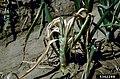 Allium cepa with Erwinia carotovora subsp. carotovora (11).jpg