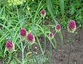 Allium sphaerocephalon Y003.jpg