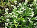 Allium ursinum00.jpg