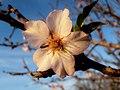 Almond Blossom, Fields of Givat Brenner, Shfelah , Israel פריחת השקד, שדות גבעת ברנר, שפלת יהודה - panoramio (4).jpg