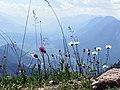Almwiese mit Alpendistel und Margeriten.jpg