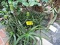Aloe arborescens hybrid in Helsinki (mislabelled)1.jpg
