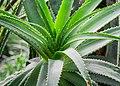 Aloe pluridens in Botanischer Garten Muenster.jpg