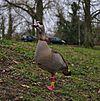Alopochen aegyptiaca in parc Tenreuken (Auderghem, Belgium, DSCF2977).jpg