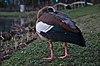 Alopochen aegyptiaca standing by étang Tenreuken, head back (Auderghem, Belgium, DSCF2852).jpg