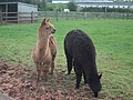 Alpaca at Dart's Farm - geograph.org.uk - 1284981.jpg