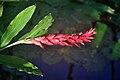 Alpinia purpurata.jpg