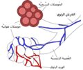 Alveoli diagram-ar.png