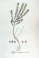 Alyssum calycinum — Flora Batava — Volume v5.jpg