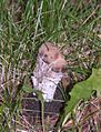 Amanita rubesciens parasitized 2.jpg