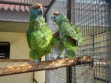 Amazona festiva bodini -two in aviary-8a.jpg