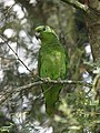 Amazona mercenarius Lora Andina Scaly-naped Parrot (14375953603).jpg