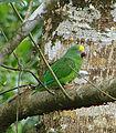 Amazona ochrocephala (8750012239).jpg