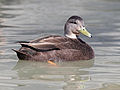 American Black Duck male RWD1.jpg