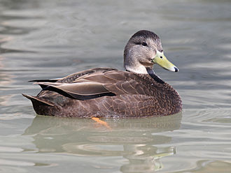American black duck - A male with a yellow beak