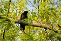 American Crow Punderson Lake SP OH 2019-05-19 04-16-25 (48015645711).jpg