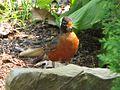 American Robin (Turdus migratorius ) RWD.jpg