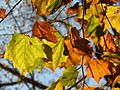 American Sycamore Leaves - Flickr - treegrow.jpg