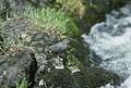 American dipper.jpg