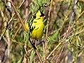 American goldfinch on Seedskadee National Wildlife Refuge (34274355194).jpg