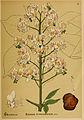 American medicinal plants (Plate 43) (6025954446).jpg
