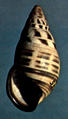 Amphidromus floresianus shell.png