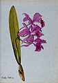 An orchid (Cattleya Boothiana); flowering stem. Watercolour. Wellcome V0043266.jpg