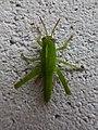 Anacridium aegyptium juvenile 03.jpg