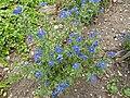 Anagallis 'Blue' (Primulaceae) plant.JPG