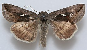 Anagrapha falcifera, Megan McCarty155.jpg
