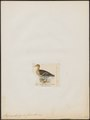 Anas xanthorhyncha - 1820-1863 - Print - Iconographia Zoologica - Special Collections University of Amsterdam - UBA01 IZ17600385.tif