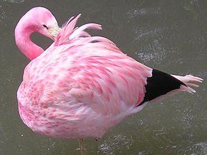 Andean flamingo - Image: Andean Flamingo Adult, Phoenicopterus andinus
