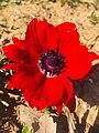 Anemone coronaria in Turkey.jpg