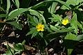Anemone ranunculoides Allium ursinum.jpg