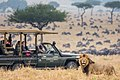 Angama vehicle with lion.jpg