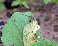 Anisoptera at Rajbiraj, Saptari, Nepal (7).jpg