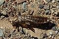 Anisoptera exuvia-3-6.jpg