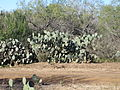 Another photo of cactus in La Salle County, TX IMG 2474.JPG