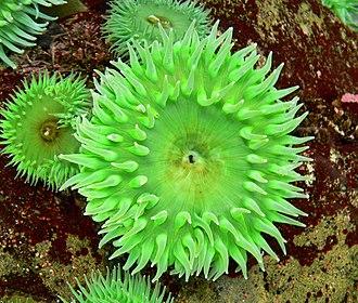 Zoochlorella - Anthopleura xanthogrammica gains its green colour from Zoochlorella