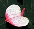 Anthurium andreanum Princess Amalia Elegance.jpg