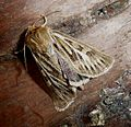 Antler Moth. Cerapteryx graminis. - Flickr - gailhampshire.jpg