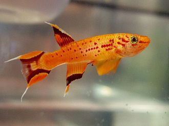 Aphyosemion australe - Golden variety of Aphyosemion australe Male
