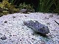 Aquarium of Cattolica - Unidentified fish.jpg