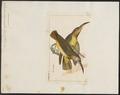 Arachnothera modesta - 1820-1860 - Print - Iconographia Zoologica - Special Collections University of Amsterdam - UBA01 IZ19000155.tif